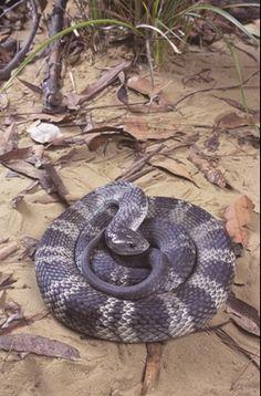 Tiger Snake (Notechis scutatus)