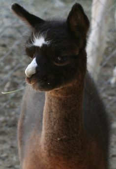 I love alpacha's! Soo cute. I want two of these on the farm