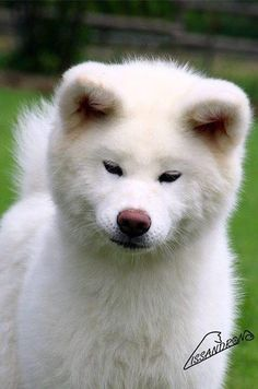 Unique Animals, Animals Beautiful, Animals And Pets, Cute Animals, Japanese Akita, Japanese Dogs, Siberian Husky Dog, Husky Puppy, Doggies