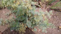 La Ruda es una planta medicinal
