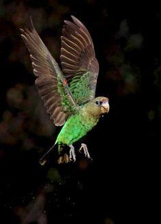 From the Wild Bird Trust: Cape Parrot. By Rodnick Clifton Biljon