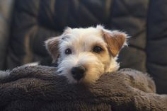 Jack Russell terrier | My friends Jack Russell terrier. | Fredrik Svanholm | Flickr