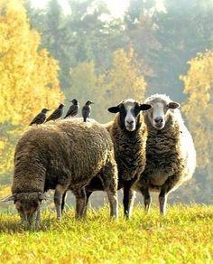 Resultado de imagem para sheep