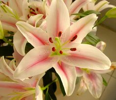 light pink lilly.. would love this for my wedding flower