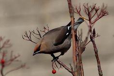 Waxwing with berries Martlesham 24.1.2014