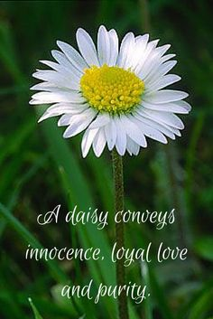 A daisy conveys innocence, loyal love, and purity. Happy Flowers, Wild Flowers, Beautiful Flowers, Daisy Quotes, Flower Quotes, Daisy Love, Daisy Girl, Daisy Daisy, Gardens