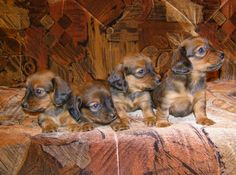 How to select the right type of dog for you:the common errors to avoid when choosing a new puppy Dachshund Puppies, Weenie Dogs, Dachshund Love, Dogs And Puppies, Dachshunds, Doggies, Dachshund Drawing, Hound Puppies, Choosing A Dog