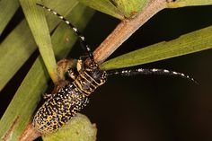 Pretty spotted beetle