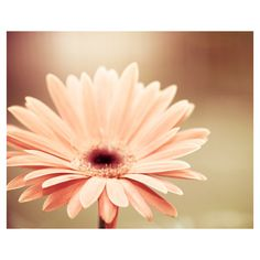 Flower Photograph - peach decor flower photography coral beige nature... ($30) ❤ liked on Polyvore