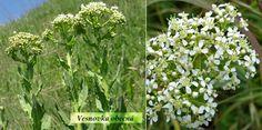 Vesnovka obecná = rumnice = divoká brokolice = lžičník rumný (latinsky Lepidium draba, slovensky Vesnovka obyčajná, německy Pfeilkresse, anglicky Hoary cress, pepperweed whitetop) je trvalka z čeledi brukvovité, cca. 20-50 cm vysoká. Listy má celistvé (členěné dolní jsou za květu již zaschlé), květy v chocholíkovitých latách. Kde roste? Ruderalizované trávníky, náspy, rumiště, pole, úhory. Je to typická bylina okrajů cest ve městech. Vyhledává suchá slunečná místa ve městech, ale vidíme... Herbs, Herb, Medicinal Plants