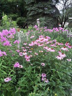 Tall garden phlox & echinacea