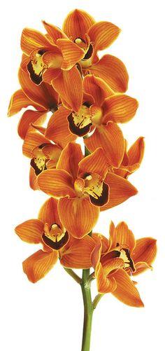"""Balou Manon"" Cymbidium Orchid - flowers - orange"