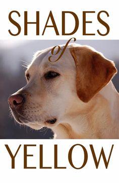 Enjoy the many beautiful shades of yellow Labrador Retriever Charcoal Lab Puppies, Yellow Lab Puppies, Perro Labrador Retriever, Retriever Puppy, Labrador Dogs, Yellow Labrador Retrievers, Fox Red Labrador Puppy, Dudley Labrador, Golden Labrador