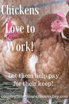 Did you know that bored chickens are unhealthy chickens? Put them to work! Here's how we do it. Let your hens do the work for you.