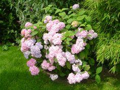 Hortencia rosa.
