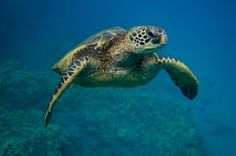 Learn all about sea turtles - habitat & diet, life cycle, threats, & how travel can help conserve them: http://www.seeturtles.org/43/sea-turtle-facts.html (Photo: Neil Osborne)