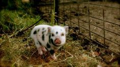 I still think a mini pig is in my future. Tiny Pigs, Small Pigs, Pet Pigs, Pocket Pig, Juliana Pigs, Micro Mini Pig, Teacup Piglets, Farm Animals, Cute Animals