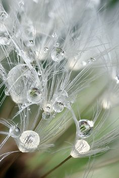 on Dandelion Seed Head - 92 of Rain That Will Make You Want to Sing . Dew Drops, Rain Drops, All Nature, Amazing Nature, Flowers Nature, Amazing Photography, Nature Photography, White Photography, Levitation Photography
