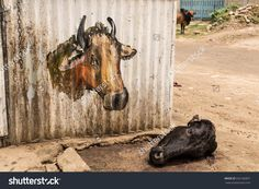 Pemba, Zanzibar, Tanzania - 7 October 2015: Head of a slaughtered black cow laying on the ground next to a wall with a drawing of a bull on it