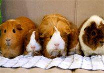 pet parade on pinterest guinnea pig pet care and pet adoption