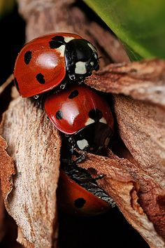 7-spot ladybirds