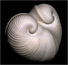 Moltke's heart clam.
