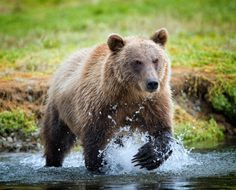 Photo An Alaskan Bear On The Hunt by Ron Bernstein on 500px