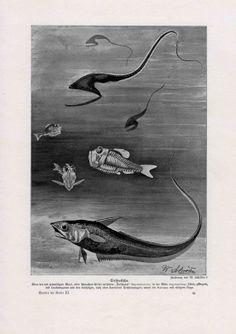 1900 deep sea fish original antique exotic by antiqueprintstore, $7.50
