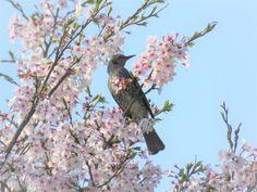 桜の木の上のヒヨドリ. brown-eared bulbul on a cherry tree. 16 April 2017.