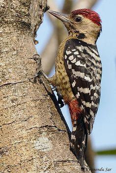 Fulvous-breasted Woodpecker, Dendrocopos macei andaman-ensis. Andaman Islands, India