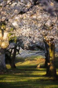 """""""In the magical forest of cherry trees"""" Spring in Japan, beautiful nature. www.phoclab.com by Claudio Beffa"""