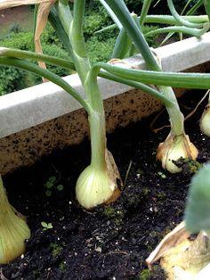 Onions Growing 2012
