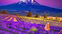 Kết quả hình ảnh cho cánh đồng hoa oải hương