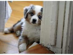 Australian Shepard puppy!
