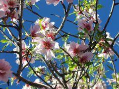 Almendros en flor...
