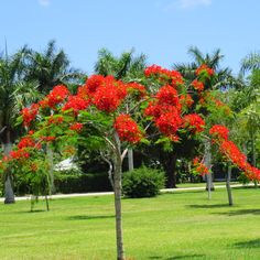 poinciana tree photos | Pin it Like Image