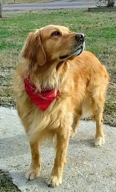 We receive new arrivals on a regular basis and will work with you to make sure your puppy is healthy and will make a great addition to your family. Read more about our guarantee! https://www.millersgoldenretrievers.com/ call;;704 802 7261