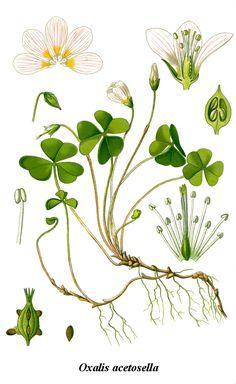 L'oxalis ...petite avec mon frère, nous adorions en dévorer, nous l'appelions «pain d'oiseau». Plus tard j'ai découvert et planté au potager de l'oseille qui partage ce goût «surette» qui chatouille les machoires . Free printable clover/shamrock botanical. Oxalis acetosella - http://commons.wikimedia.org/wiki/File:Cleaned-Illustration_Oxalis_acetosella.jpg