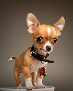 5 Facts about Chihuahua. Click the pic to know