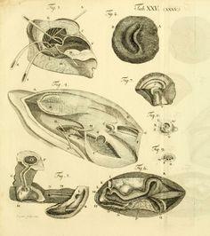Vergleichung des Baues und der Physiologie der Fische mit dem bau des Menschen und der übrigen Thiere durch Kupfer Erläutert / - Biodiversit...