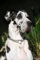 Jackson is an #adoptable Great Dane Dog in #SanPedro, #CALIFORNIA. Please visit our website at www.AnimalsRule.org and read the link 'Adoption Process' to see how we work.  An application of interest is your fi...