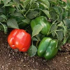 Aprende a sembrar pimientos - Ideas para jardines y decoración