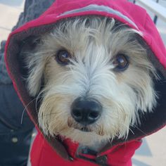 #dogs #doglovers #dogsincoats