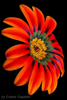 Macro of Gazania Flower - Flickr - Photo Sharing!