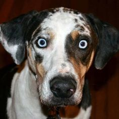 Catahoula. I saw that look on my Hank. God Bless him