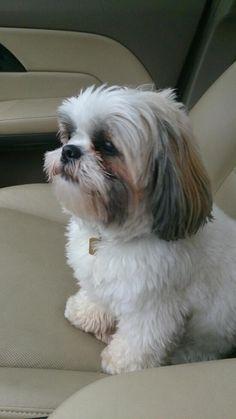 Shih Tzu Hund, Chien Shih Tzu, Shih Tzu Puppy, Shih Tzus, Shitzu Puppies, Cute Puppies, Cute Dogs, Dogs And Puppies, Doggies
