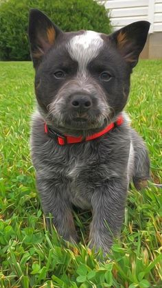 What Makes My Dog Training System So Unique Cute Puppies, Cute Dogs, Dogs And Puppies, Doggies, Austrailian Cattle Dog, Baby Animals, Cute Animals, Herding Dogs, Dog Rules