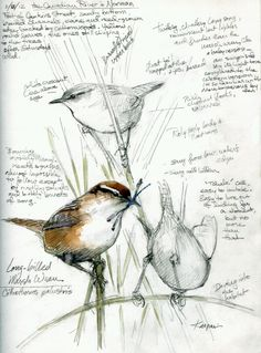 From 'Drawing the Motmot': Marsh Wrens, Canadian River. The landowner welcomes birders, turns back most everyone else. His black angus bull didn't like me much, though. Watercolor over pencil in Stillman & Birn Epsilon sketchbook, hardbound 8 x Vogel Illustration, Art And Illustration, Illustrations, Bird Sketch, Nature Sketch, Arte Sketchbook, Bird Drawings, Drawing Birds, Nature Journal