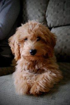 Petitedoodles | INFO | GoldenBelleKennels | Goldendoodle | Goldendoodles | Mini/Petite Doodles