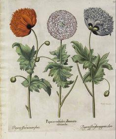 24x36 Globe Artichoke Basilius Besler Botanical Poster